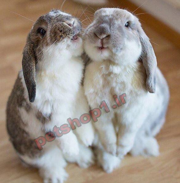 فروض خرگوش لوپ