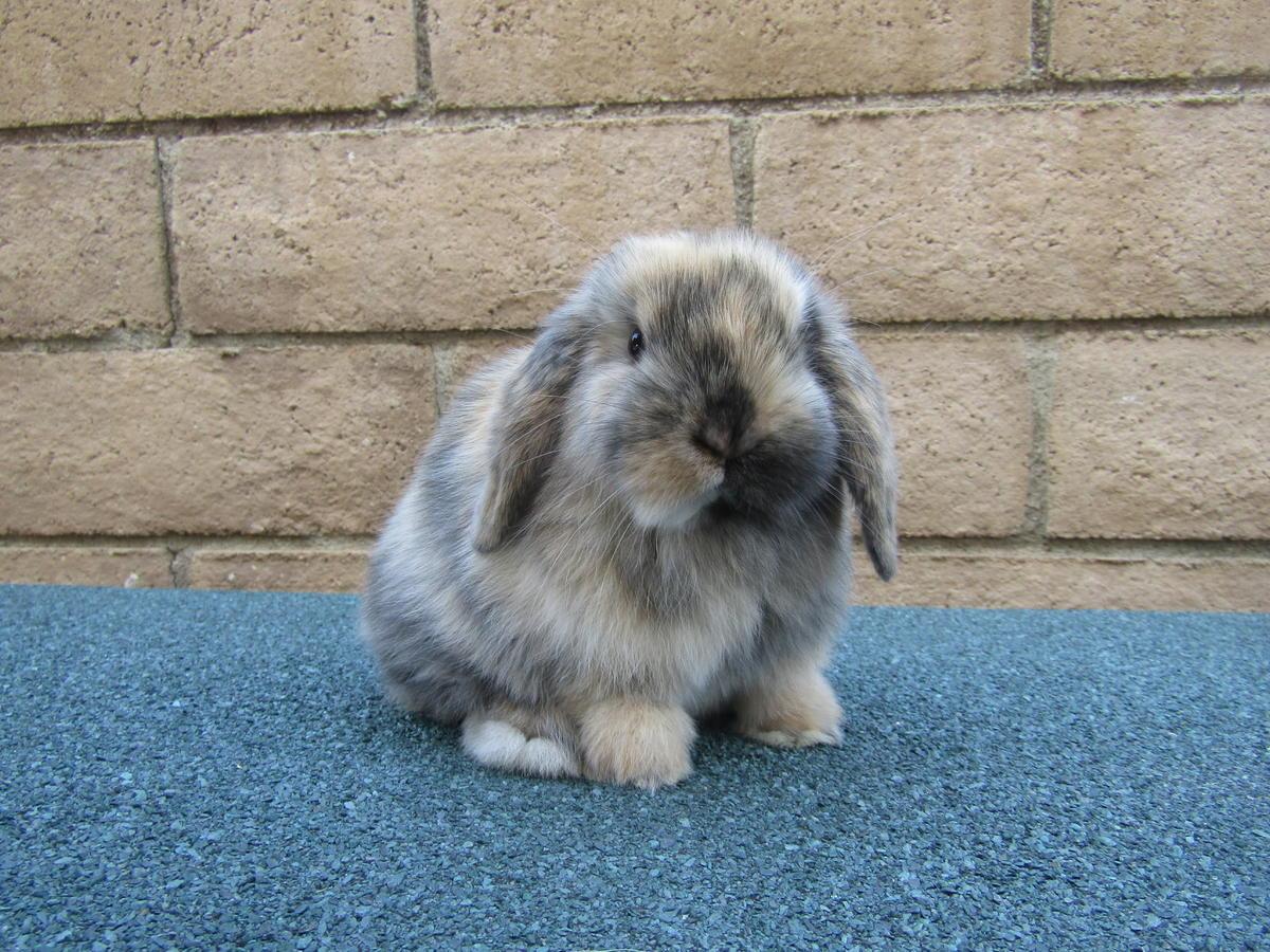 فروش خرگوش لوپ